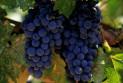 Виноград и его применение в домашней косметологии