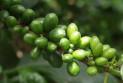 Особые свойства зеленого кофе
