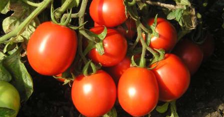 Выращиваем помидоры на приусадебном участке