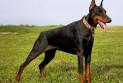 Описание породы собак — доберман