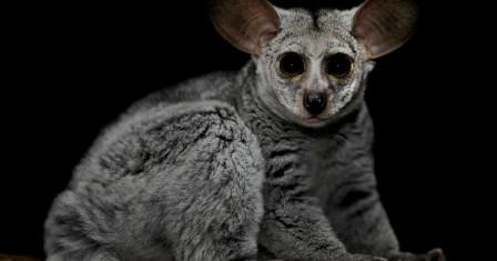 Толстохвостый галаго – очаровательный экзотический зверек в вашем доме